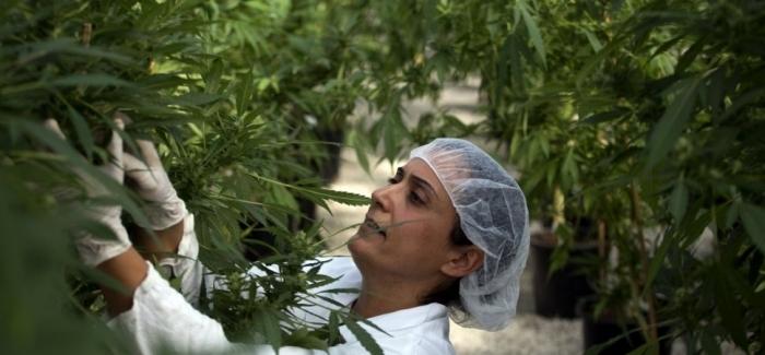 Medyczna marihuana dla zwierząt domowych?, thc thc.info