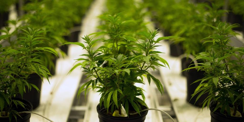 Wymagania dotyczące uzyskania licencji na stosowanie medycznej marihuany w Kanadzie, thc thc.info