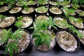 Zastosowania medycznej marihuany, thc thc.info