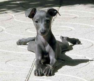 Rodzina z Bostonu podaje psu konopne herbatniki w celu złagodzenia bólu zwierzęcia, thc thc.info