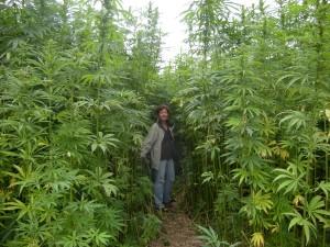 marihuana-lecznicza-medyczna-zdjecie-posrod-roslin