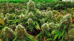 marihuana-piekna-roslina-zielona