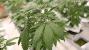 medyczna-marihuana-to-zielona-roslina
