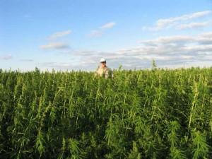 Duży napływ wniosków o legalizację marihuany pokazuje, że Ameryka zmienia swoje zdanie o konopi, thc thc.info
