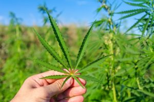 marihuana-lisc-w-uprawie