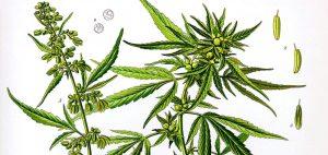 fakty-na-temat-medycznej-marihuany-rysunek-rosliny-marihuany-konopi-indyjskiej