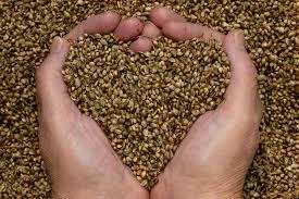 Białko i inne makroskładniki znajdujące się w nasionach konopi, thc thc.info