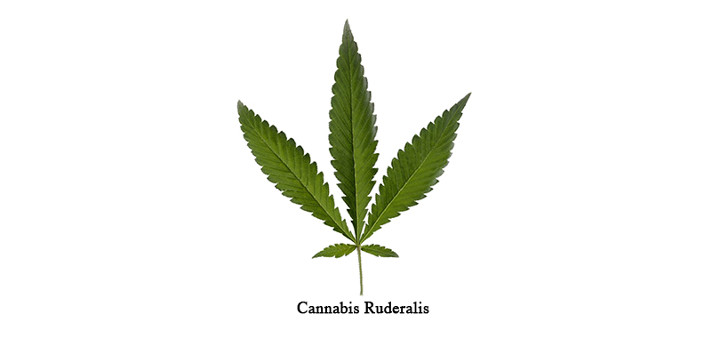 Cannabis ruderalis, thc thc.info