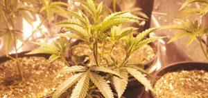 medyczna-marihuana-medycyna-lekarstwo-lisc-medycznej-marihuany-doniczka-sadzenie-uprawa