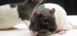 szczury-badania-na-szczurach-marihuana-metaamfitamina-uszkodzenie-mozgu-szczurow