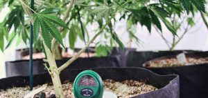 leczenie-medyczna-marihuana-nasiona-marihuany-do-uprawy-rosliny-w-trakcie-uprawy-rosliny