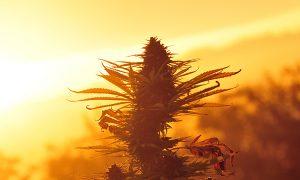marihuana-konopia-roslina-zbiory-nasiona