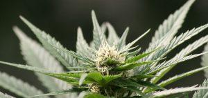 Młodzi ludzie twierdzą, że marihuana jest coraz rzadziej dostępna, thc thc.info