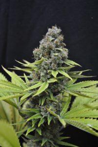 Piętnaście odmian marihuany, które bogate są w CBD, thc thc.info