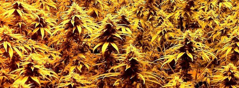 Cannabis w leczeniu zapalenia stawów, thc thc.info