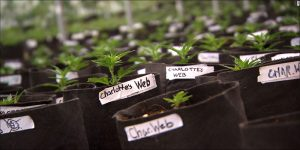 Odmiany cannabis, które świetnie sprawdzą się jako olej, thc thc.info