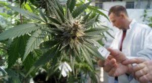 Badanie efektywności marihuany w przypadku fibromialgii, thc thc.info