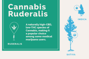 Co to jest Cannabis Ruderalis?, thc thc.info