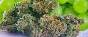 Stosowanie marihuany przy nudnościach, thc thc.info