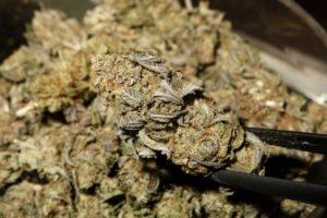 Zanim rozpoczniesz uprawę marihuany, thc thc.info