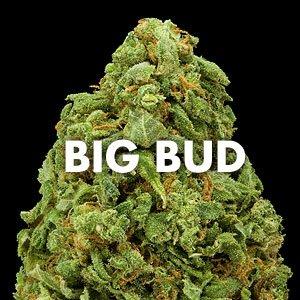 Recenzja odmiany Big Bud, thc thc.info