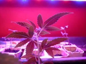 Najlepsze nasiona do uprawy indoor, thc thc.info