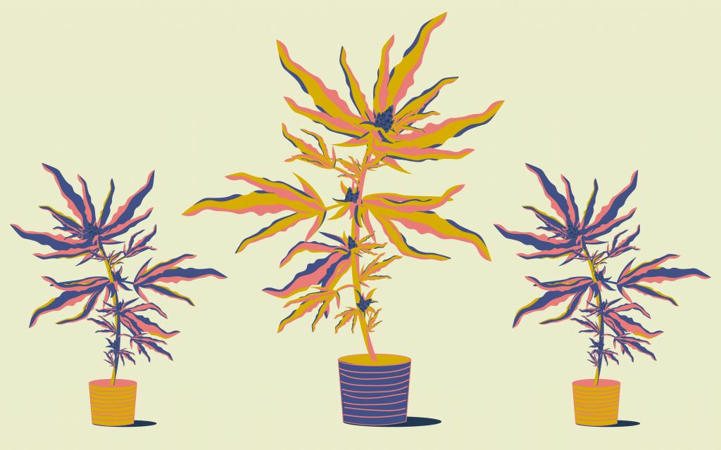 Co robić z łodygami marihuany po zbiorach, thc thc.info
