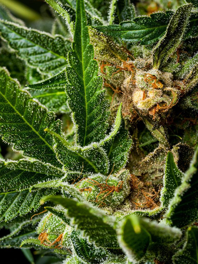Jak rozpoznać pleśń na roślinach cannabis?, thc thc.info