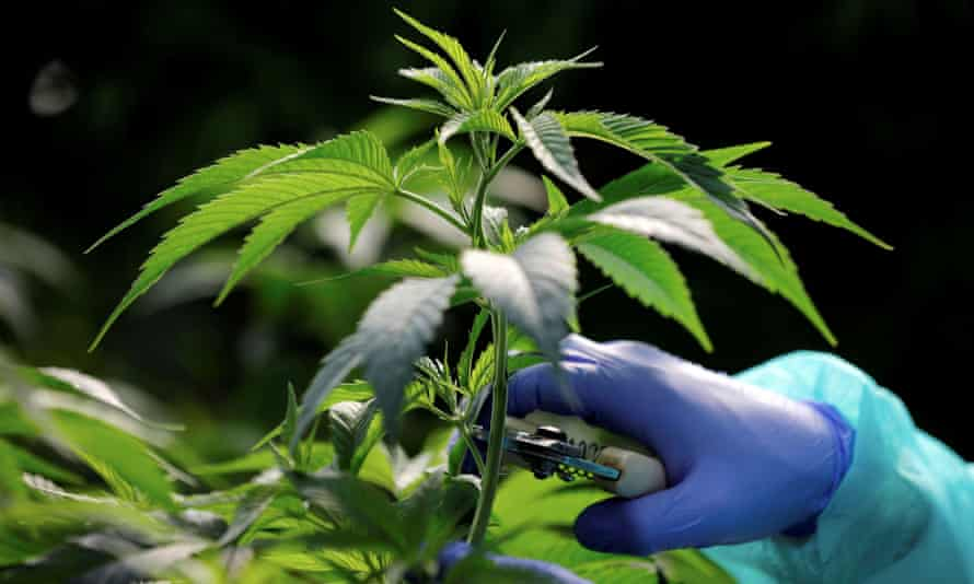 Koszty Uprawy Marihuany W Domu, thc thc.info