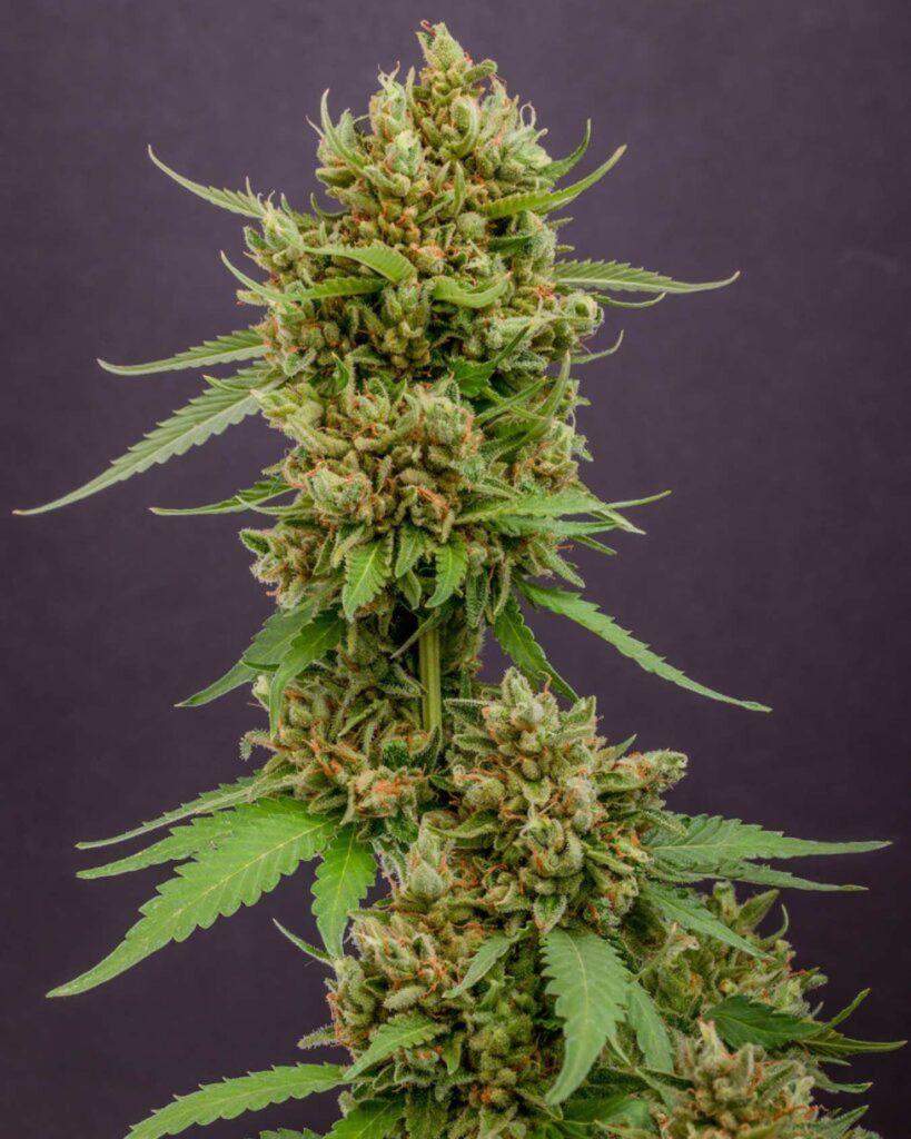 Dlaczego Przycinanie Roślin Marihuany Jest Konieczne?, thc thc.info