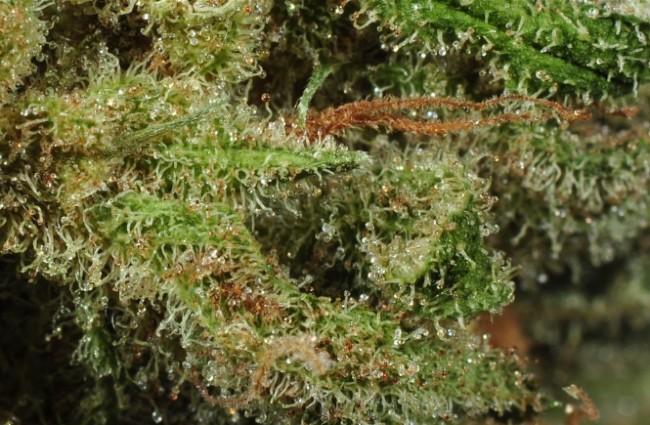 Uprawa Nasion Kwitnących Automatycznie, thc thc.info