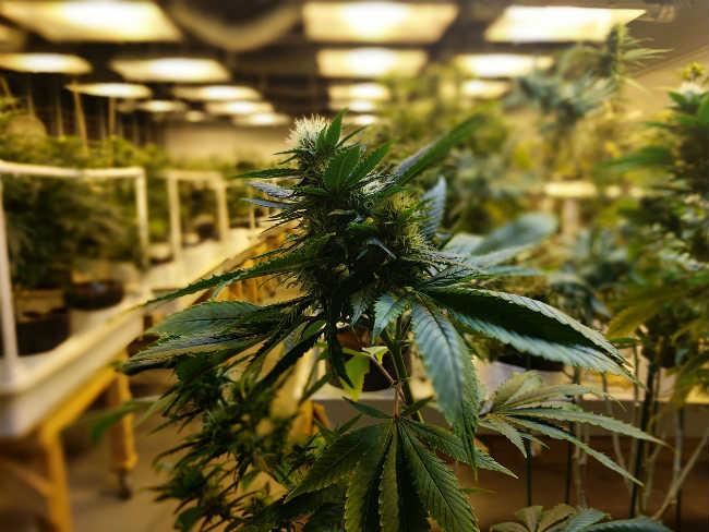 Żółciejące Liście Na Roślinach Cannabis, thc thc.info